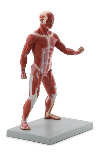 Altay Muscular Body